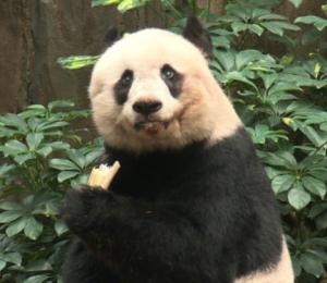 Старейшая в мире панда отпраздновала день рождения