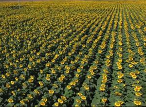 160 гектаров подсолнухов в память о погибшей жене